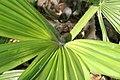 Corypha umbraculifera 3zz.jpg