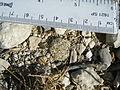 Coryphantha delicata (5686087911).jpg