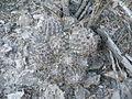 Coryphantha durangensis (5730151241).jpg