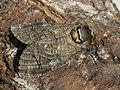 Cossus cossus ♂ - Goat moth (male) - Древоточец пахучий (самец) (40770486452).jpg