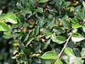 Cotoneaster divaricatus Kiev1.JPG