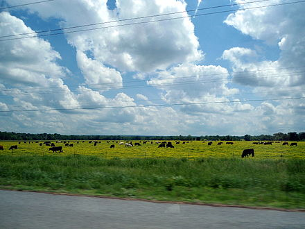 Livestock grazing in a flat, flowering pasture near Mulberry Cows in flowered pasture near Mulberry, AR.jpg