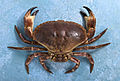 Crab Series (4387147748).jpg