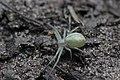 Crab Spider (35872540135).jpg
