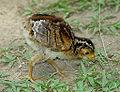 Crax rubra chick.jpg