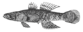 Crazy fish (Butis butis).png