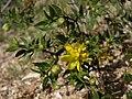 Creosote bush, Larrea tridentata (15825071905).jpg