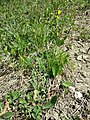 Crepis praemorsa sl30.jpg