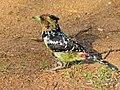 Crested Barbet (Trachyphonus vaillantii) (7034733837).jpg