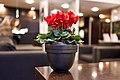 Crimson red cyclamens in a black pot.jpg