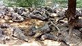 Crocodiles in Chennai.jpg