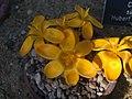 Crocus gargaricus subsp. gargaricus 05.jpg