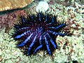 Crown of Thorns Starfish (5457578925).jpg