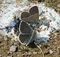 Cupido minimus (Small Blue) - Flickr - S. Rae (1).jpg