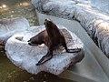 Curious Seal (17664720).jpg