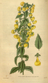 Curtis's Botanical Magazine, Plate 3094 (Volume 58, 1831).png