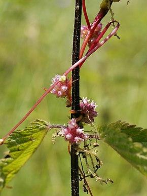 une plante Martin 25 janvier trouvée par Martine et Ajonc - Page 2 290px-Cuscuta_europaea_%28on_Urtica_dioica%29