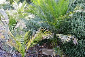 Burrawang (Macrozamia communis)