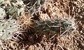 Cylindropuntia prolifera detalle.jpg
