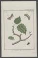 Cymatophora - Print - Iconographia Zoologica - Special Collections University of Amsterdam - UBAINV0274 003 05 0062.tif
