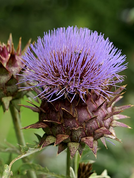 Artichoke thistle in the Kalmthout arboretum in Belgium