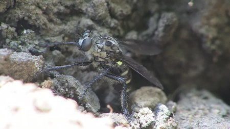 File:Cyrtopogon lateralis - 2015-05-22.webm