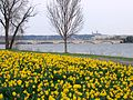 Daffodils in Lady Bird Johnson Memorial Park - 2011.jpg