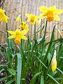 Daffodils on St. David's day (12890472385).jpg