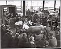 Dairy cows in the sale ring at the Warragul cattle sales, Victoria, (2) (6173563047).jpg