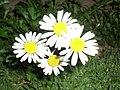 Daisy flower at night.jpg