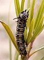 Danaus Chrysippus (Delicatessen) 23-01-10 -Oruga - Eruga - Caterpillar (4299714935).jpg