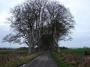Dark Hedges - The Dark Hedges, as seen from further along Bregagh Road