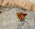 Dark Palm Dart at Jayanti, Duars, WB W IMG 5456.jpg