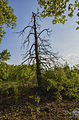 Dead tree in the Domaine de Restinclières.jpg