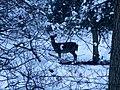 Deer in the woods in the snow - Jan 2013 - panoramio.jpg
