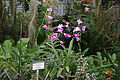 Dendrobium phalaenopsis, Grishko botanical garden (Kiev) 01.jpg