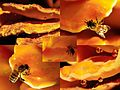 Detail of Laetiporus sulphureus (Chicken of the Woods or Sulphur shelf, D= Schwefelporling, F= Polypore soufré, NL= Zwavelzwam) white spores and causes brown rot, with lots of guttation drops and a drinking bee. For an - panoramio.jpg