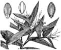 Dichanthelium commutatum (as Panicum commutatum) HC-1950.png