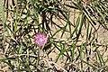 Dicoma anomala (Asteraceae) (6947457517).jpg