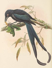 Dicranostreptus megarhynchus - The Birds of New Guinea (cropped).jpg