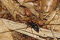 Digger Wasp9016.jpg