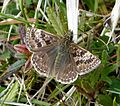 Dingy Skipper. Erynnis tages - Flickr - gailhampshire.jpg