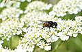 Diptera on flower Pakistan closeup.jpg
