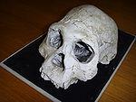 Dmanisi cranium D2700 (B).jpg