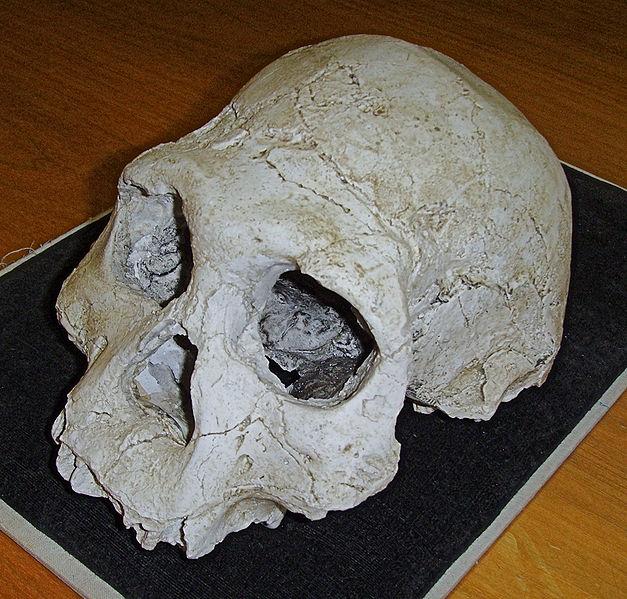http://upload.wikimedia.org/wikipedia/commons/thumb/a/a5/Dmanisi_cranium_D2700_%28B%29.jpg/627px-Dmanisi_cranium_D2700_%28B%29.jpg