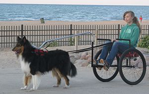 Carting - A young handler driving her Collie.
