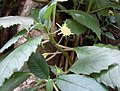 Dorstenia indica Sri Lanka 02.jpg
