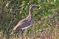Double-striped Thick-Knee (8268544340).jpg