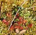 Drosera rotundifolia N.jpg