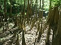 Dry cypress swamp - panoramio.jpg